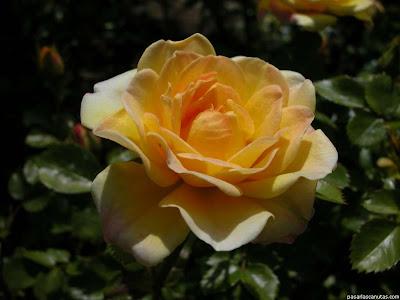 Imágenes de Flores:  rosa amarilla