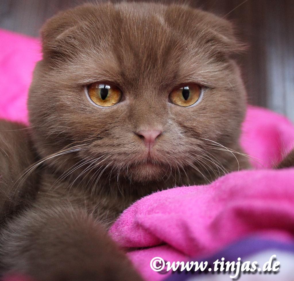 Scottish Fold Katzenbaby 16 Wochen cinnamon tinjas