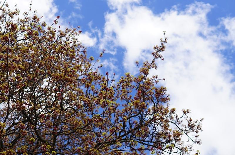 jalopuu, kevät