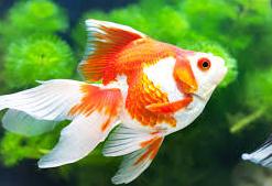 Jenis Ikan Koki Black Moor ikan hias lucu