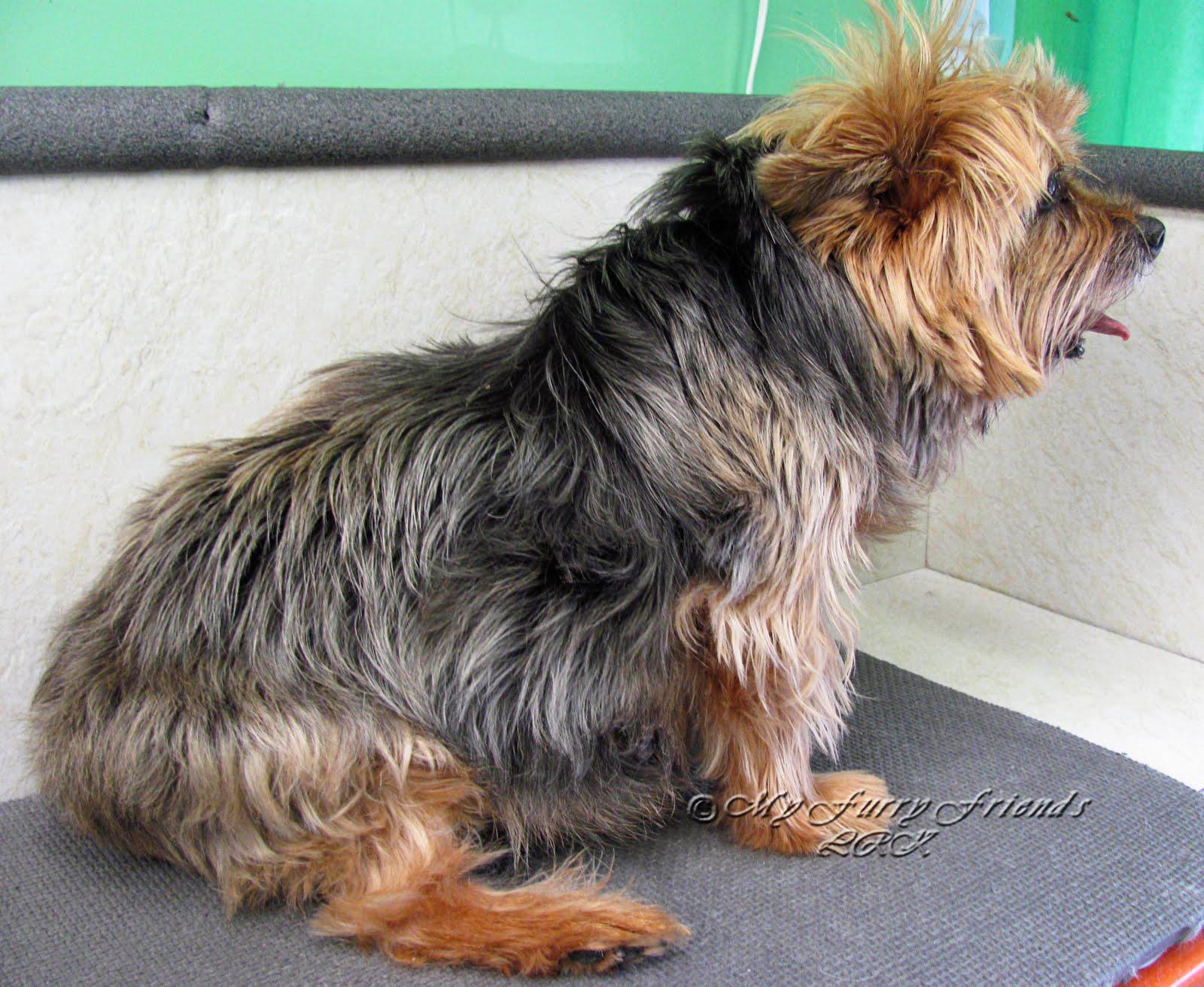Oily Dog Fur - Goldenacresdogs.comOily Seborrhea In Dogs