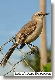 Tropical Mockingbird (Mimus gilvus) Birds of Tobago