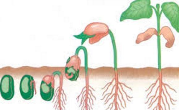 Pertumbuhan Kacang Hijau (Makalah)