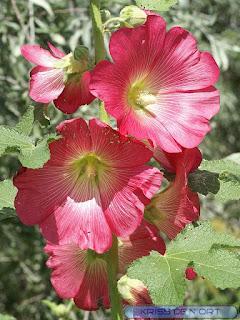 Rose trémière - Alcea rosea