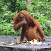 Things to Know About Orangutan