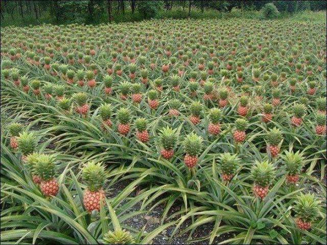 поле с растущими ананасами