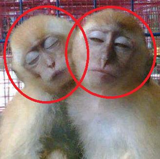 Kocak..! Inilah Asal Mula Kata Cinta Monyet