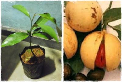 bibit pala unggul | jual bibit pala | tanaman pala | budidaya pala | cara menanam pala