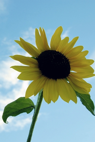 iPhoneZone: Sunflower iPhone Wallpapers