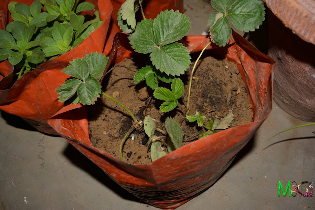 Strawberry saplings planted in grow bag