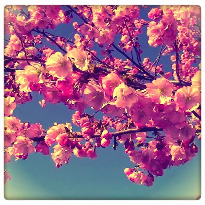 Students Of History: Cherry Blossom Peak Bloom Sale