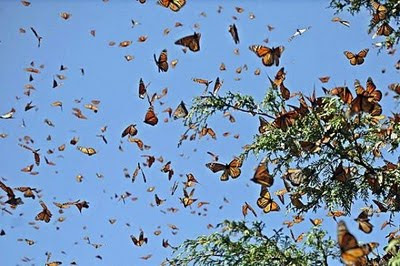 a group of monarch butterflies in flight