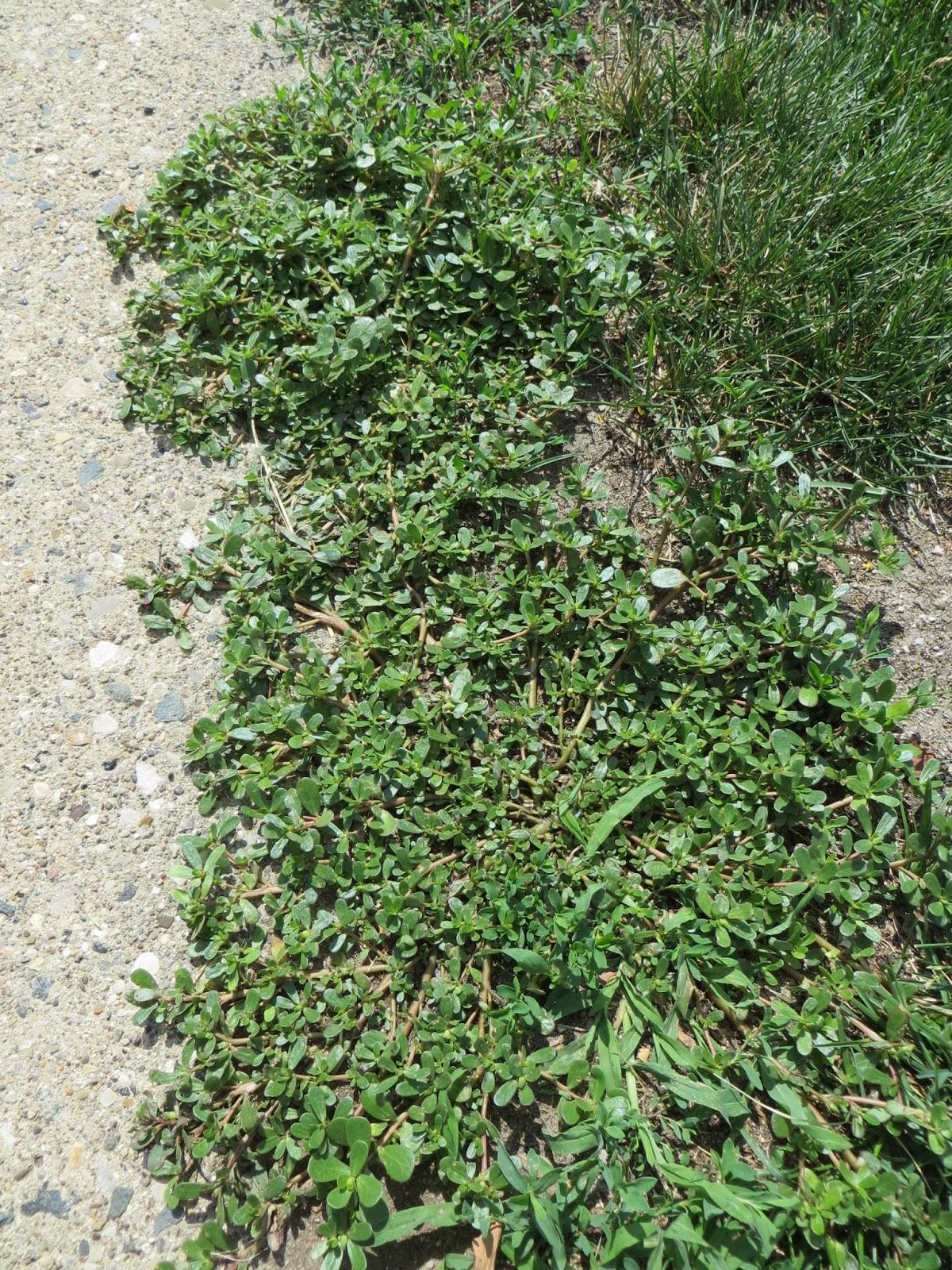 Growing Purslane How To Grow Edible Purslane In The Garden: NMSU Plant Clinic: Common Purslane: A Troublesome Summer