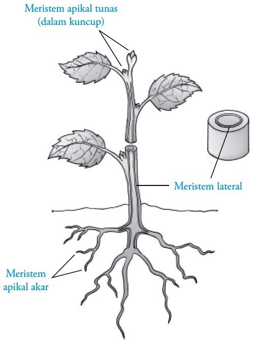 Struktur Dan Fungsi Jaringan Meristem Pada Tumbuhan