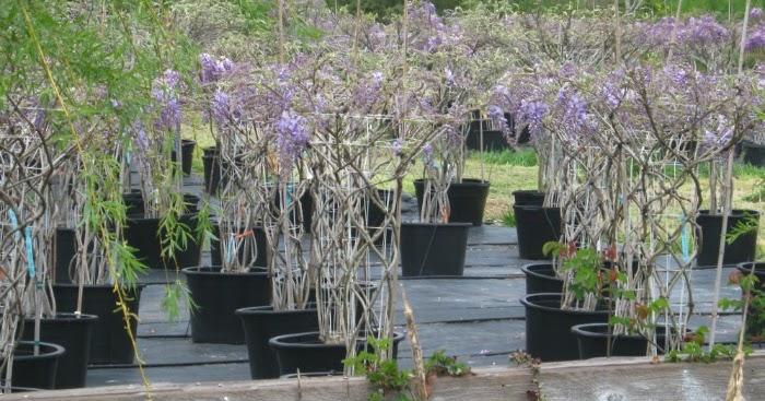 Guia de jardin blog de jardiner a y plantas jard n en casa se puede cultivar una glicinia - Glicinia en maceta ...