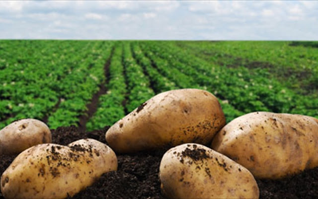 Ραγδαία πτώση στην παραγωγή πατάτας