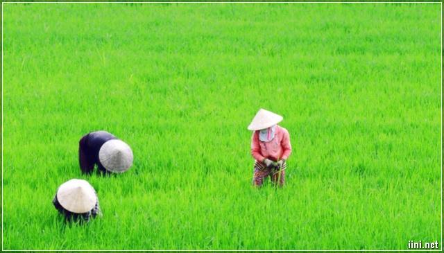 nông dân Thái Thụy - Thái Bình chăm lúa