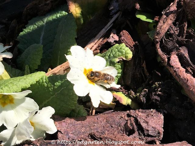 Biene auf Primel