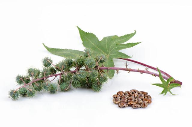 فائدة فوائد الخروع للشعر والبشرة Castor+oil+for+healt