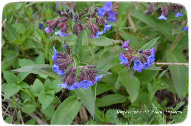 zagadki-pro-vesennie-cvety-dlya-detej-i-vzroslyh-magiya-biologii-медуница