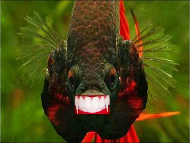 Gambar Gigi Ikan Cupang Aduan Super Terganas dan Termahal