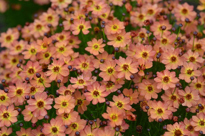 Coreopsis 'Little Penny' Mt. Cuba Center en Delaware