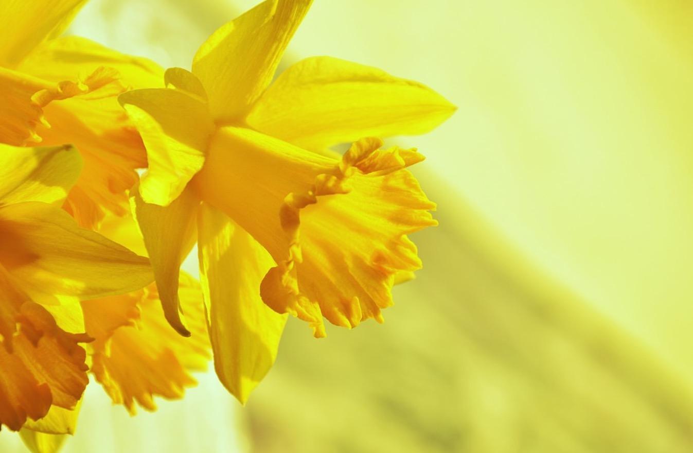 daffodil day - photo #14