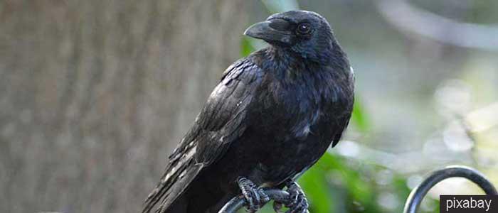 Burung Gagak Si Hitam Yang Cerdas
