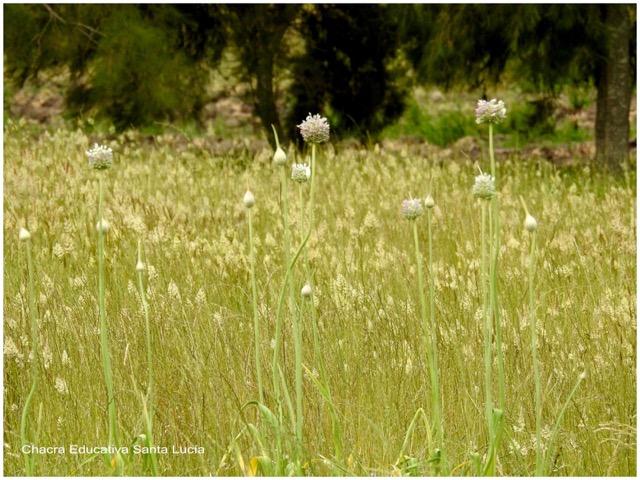 Flores de plantas de puerro en la pradera - Chacra Educativa Santa Lucía