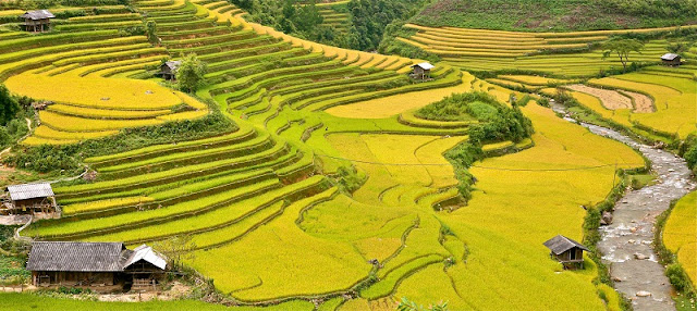 The joy of the ethnic minority in Mu Cang Chai in the harvest of rice 2