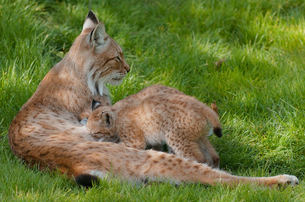 11.  Lynx cubs drinking by Mom by Rob Janné