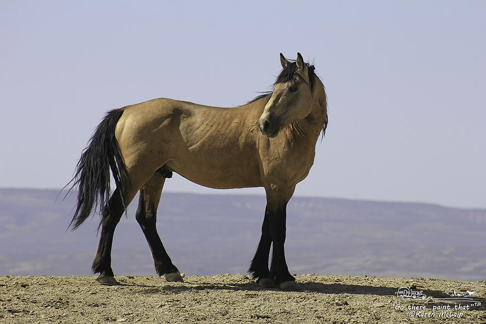 Equus ferus- Wild Hors...