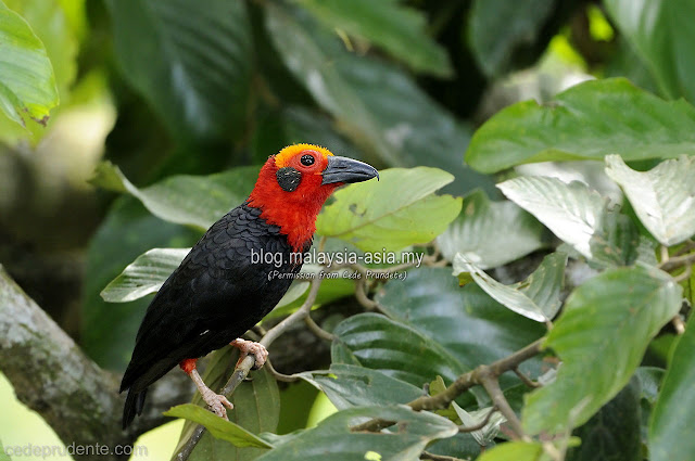 Picture of the Bornean Bristlehead