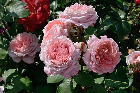 Institut Lumiere сорт розы фото купить саженцы Минск питомник