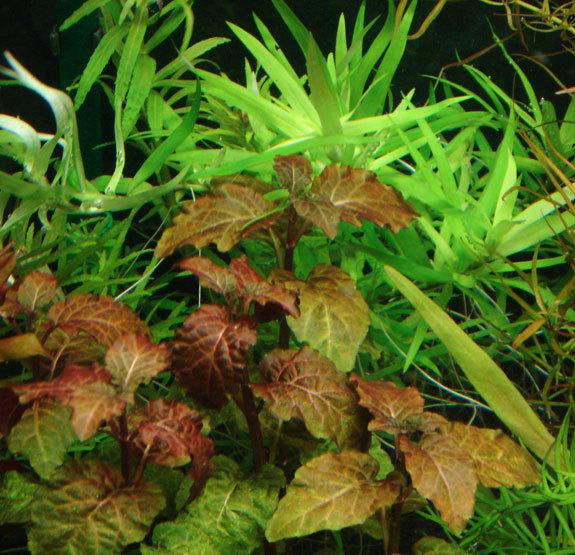 Cây tía tô được trồng hậu cảnh trong bể thủy sinh