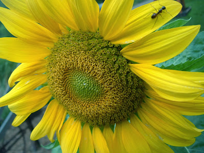 my sunflower pic