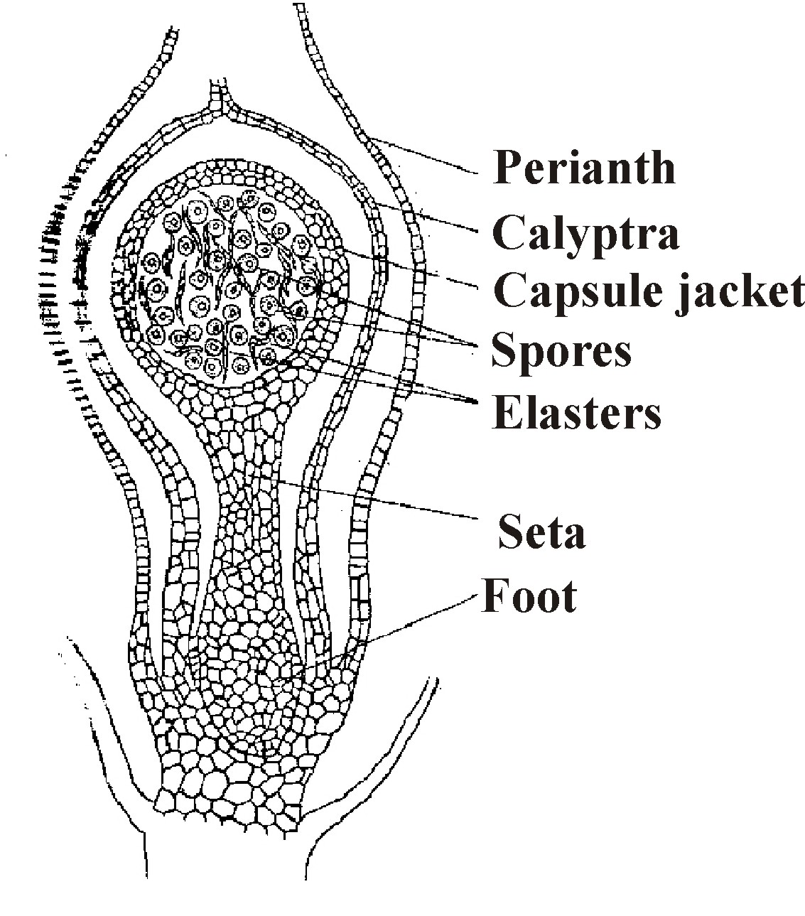 winsome publication b sc allahabad university ist year botany moss sporophyte pellia sporophyte diagram [ 1133 x 1289 Pixel ]