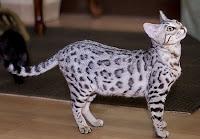 Jenis Kucing Paling Mahal di Dunia