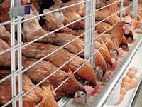 Cara Mudah Budidaya Ayam Petelur Dengan Hasil Menguntungkan