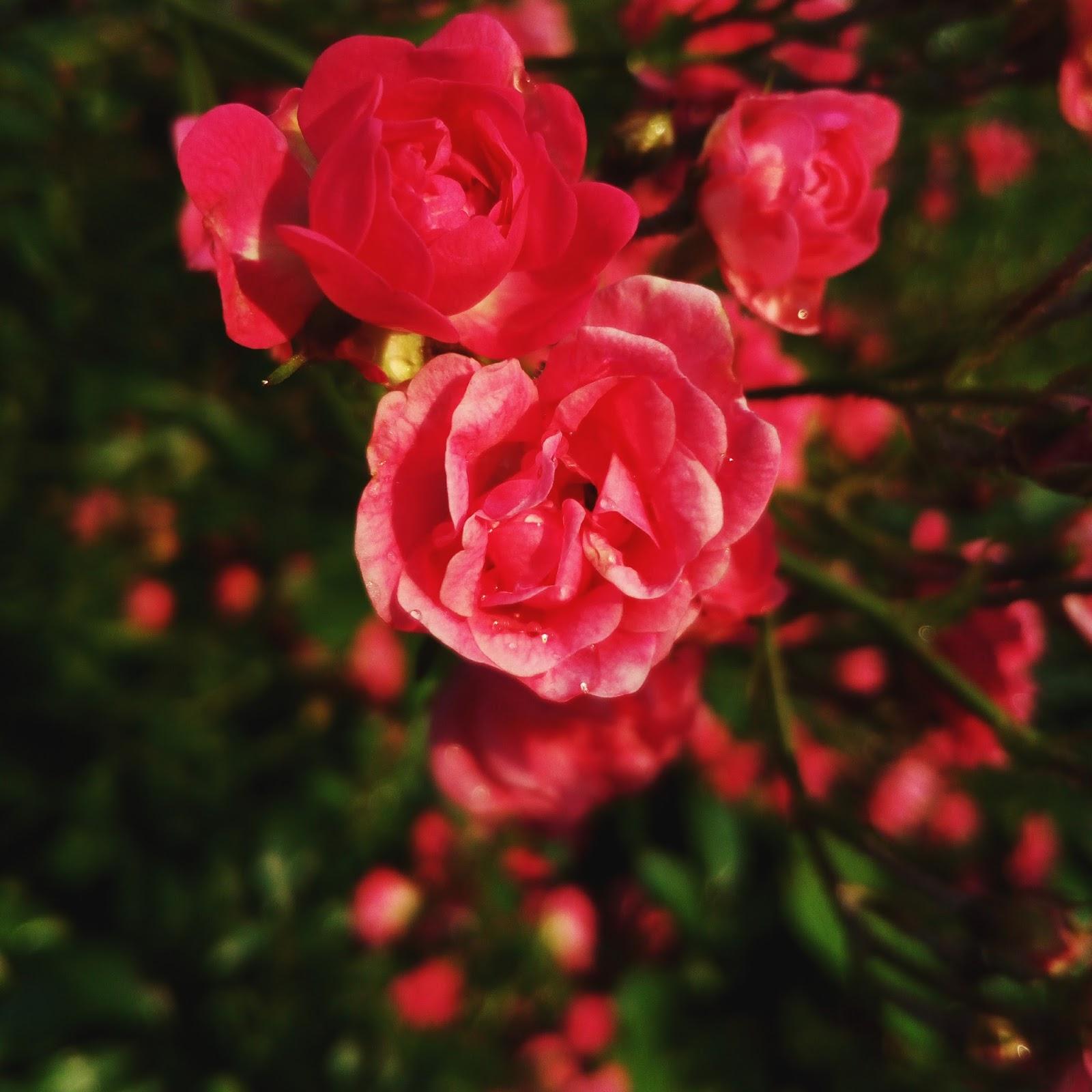 Rosa na růžích