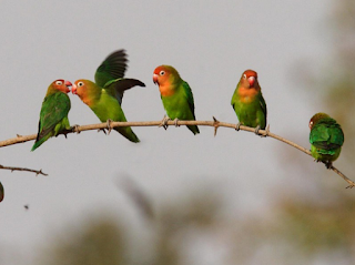 Nama Lovebird Berdasarkan Warna Beserta Gambar Lengkap