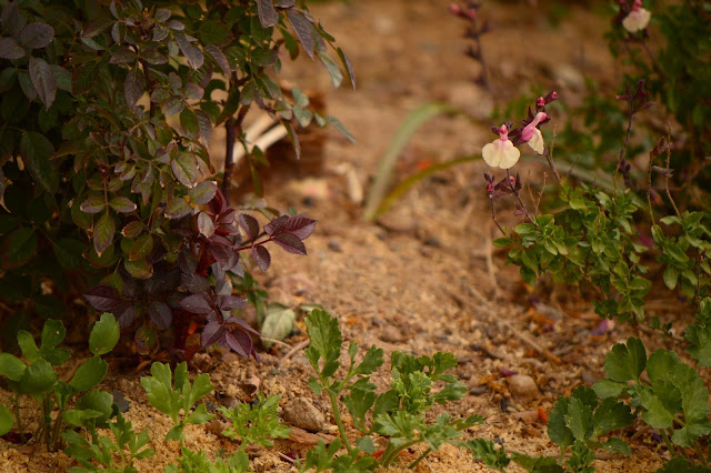 desert plant, small sunny garden, garden foliage,amy myers, miniature rose, salvia greggii autumn moon