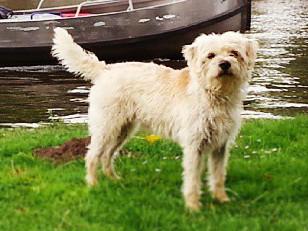 Dutch Smoushond-pets-dog breeds-dogs-pet