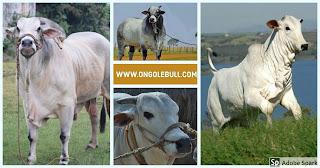 Ongole bulls images