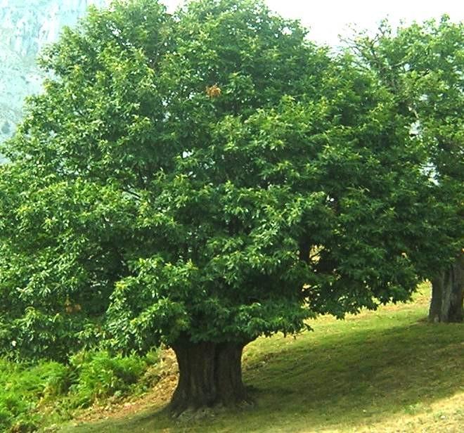 Aprende a dibujar un arbol taringa for Arboles frondosos de hoja perenne