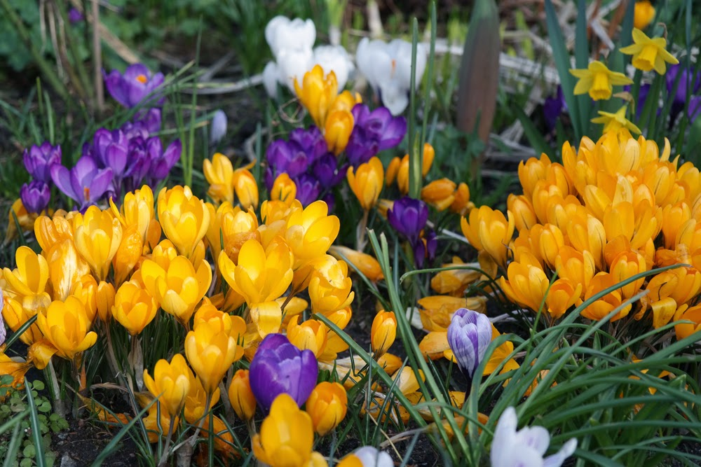 Loads of crocuses
