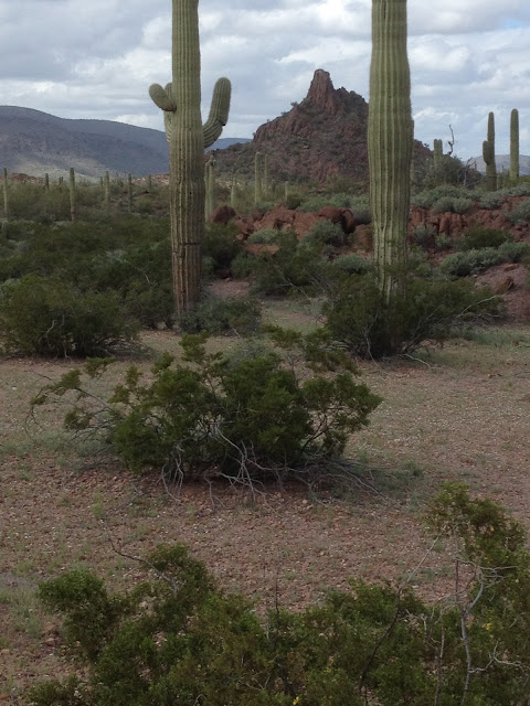 Photo of lush vegetation in Organ Pipe Nat Monument