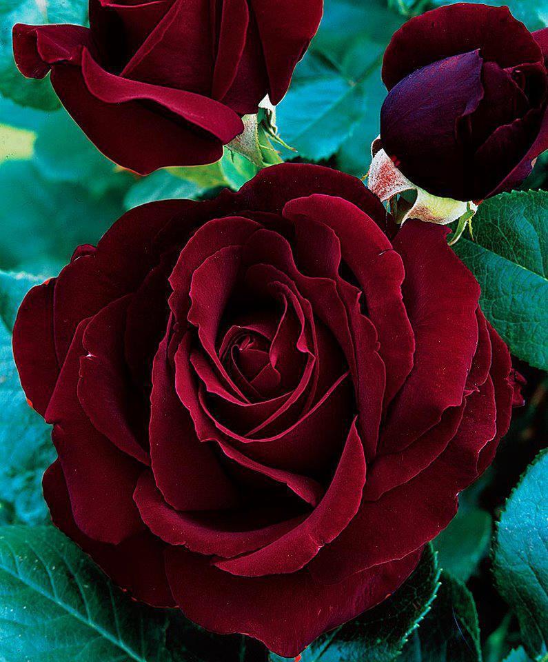Le Meraviglie Del Mondo Il Significato Dei Fiori La Rosa Rossa Scuro