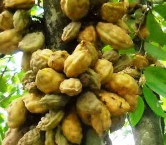 D Agro Nursery Plants: Daun Nam-Nam boleh melancarkan air mani
