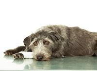 TRATAMENTO-DOR-CAES-GATOS-PET-ANIMAIS-DE-COMPANHIA-baixar-livros-de-veterinaria-gratis-tratamento-da-dor-fanoni-em-pdf